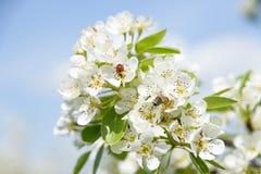 Пчела Ladybird и меда деля цветок груши и собирая нектар стоковая фотография