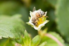 Пчела nectaring Стоковая Фотография
