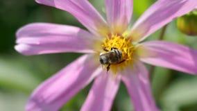 Пчела polinating цветок в саде акции видеоматериалы