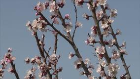 Пчела suckling нектар от цветения абрикоса видеоматериал