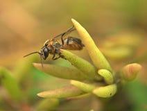 Пчела Trigona Стоковое Изображение