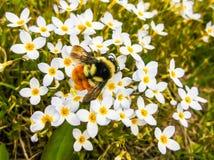 Пчела-utifal Стоковая Фотография
