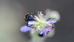 Пчел-ел жуков (apiarus Trichodes) акции видеоматериалы