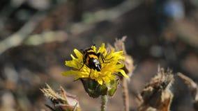 Пчел-ел жуков (apiarus Trichodes) видеоматериал