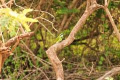 Пчел-едок или orientalis Merops сидят на ветви Стоковые Фотографии RF