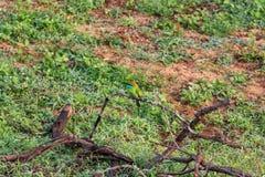 Пчел-едок или orientalis Merops сидят на сухой ветви Стоковые Изображения RF