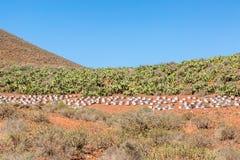Пчеловодство и культивирование шиповатой груши, Марокко Стоковое Фото
