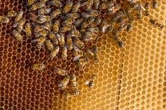 Пчелы внутри улья с королевой пчел в середине Стоковое Фото