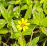 Пчелы всасывают нектар цветков Стоковые Фотографии RF