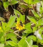 Пчелы всасывают нектар цветков Стоковая Фотография RF