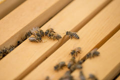 Пчелы выпивая мед Стоковая Фотография RF