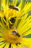 Пчелы в летнем времени Стоковые Изображения