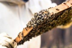 Пчелы в рамке воска Стоковое Фото
