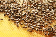 Пчелы в сотах Стоковые Фото