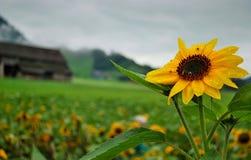 Пчелы в солнцецвете с падением росы Стоковое Изображение RF