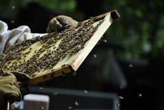 Пчелы в улье Стоковая Фотография RF
