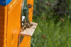 Пчелы летают Стоковая Фотография