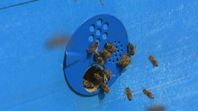 Пчелы летели в крапивницу с медом сток-видео