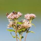 2 пчелы изолированной на розовом цветке Стоковая Фотография