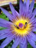 Пчелы и лотос Стоковое фото RF