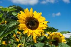 3 пчелы и одна муха сидя на солнцецвете Стоковые Изображения RF