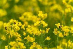 2 пчелы и поля рапса Желтая расплывчатая предпосылка Фотосессия макроса Стоковые Изображения RF