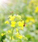 Пчелы и цветок стоковая фотография rf
