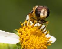 Пчелы и цветок Стоковые Изображения