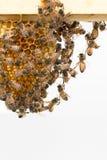 Пчелы качая от деревянной рамки Стоковая Фотография