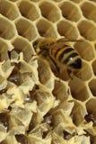 Пчелы, которые приходят от суровой зимы Стоковое Фото