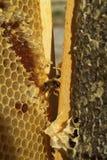Пчелы, которые приходят от суровой зимы Стоковые Изображения