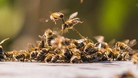 Пчелы меда воюя с чужеземцами Промежуток времени сток-видео