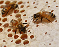 Пчелы меда на соте Стоковое Изображение