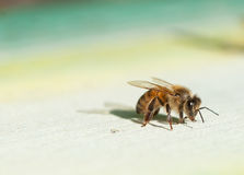 Пчелы меда приходя назад домой Стоковое Изображение