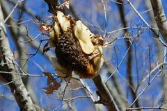 Пчелы меда Стоковое Фото