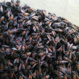 Пчелы меда Стоковое фото RF