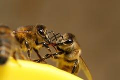 Пчелы на бое стоковые фотографии rf