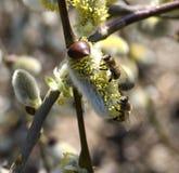 2 пчелы на вербе Стоковое Изображение