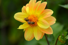 2 пчелы на желтом цветке Стоковое Изображение