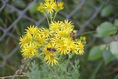 Пчелы на желтом цветке Стоковые Фотографии RF