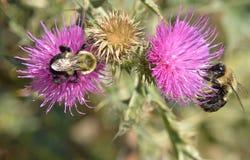 2 пчелы на заливе Humber цветков thistle подпирают парк Стоковое фото RF