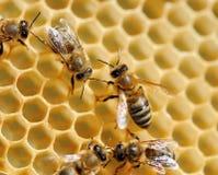 Пчелы на клетках меда Стоковые Изображения