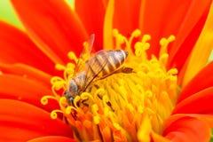 Пчелы на мексиканском солнцецвете Стоковые Фотографии RF