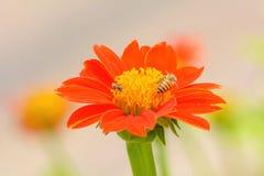 Пчелы на мексиканском солнцецвете Стоковое Фото