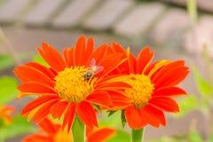 Пчелы на мексиканском солнцецвете Стоковая Фотография RF