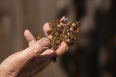Пчелы на моей руке стоковая фотография rf
