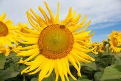 Пчелы на работе Стоковая Фотография RF