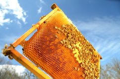 Пчелы на рамке сота в весеннем времени Стоковые Изображения