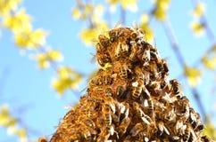 Пчелы на рамке сота в весеннем времени Стоковое Изображение RF