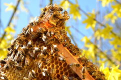 Пчелы на рамке сота в весеннем времени Стоковое фото RF